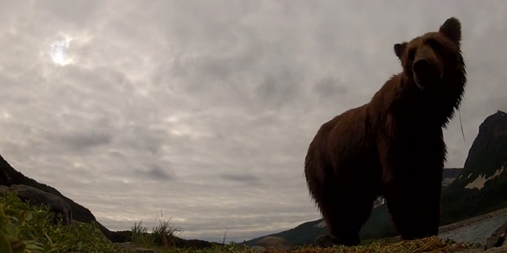 Bear tries to eat a GoPro camera. Camera lives.
