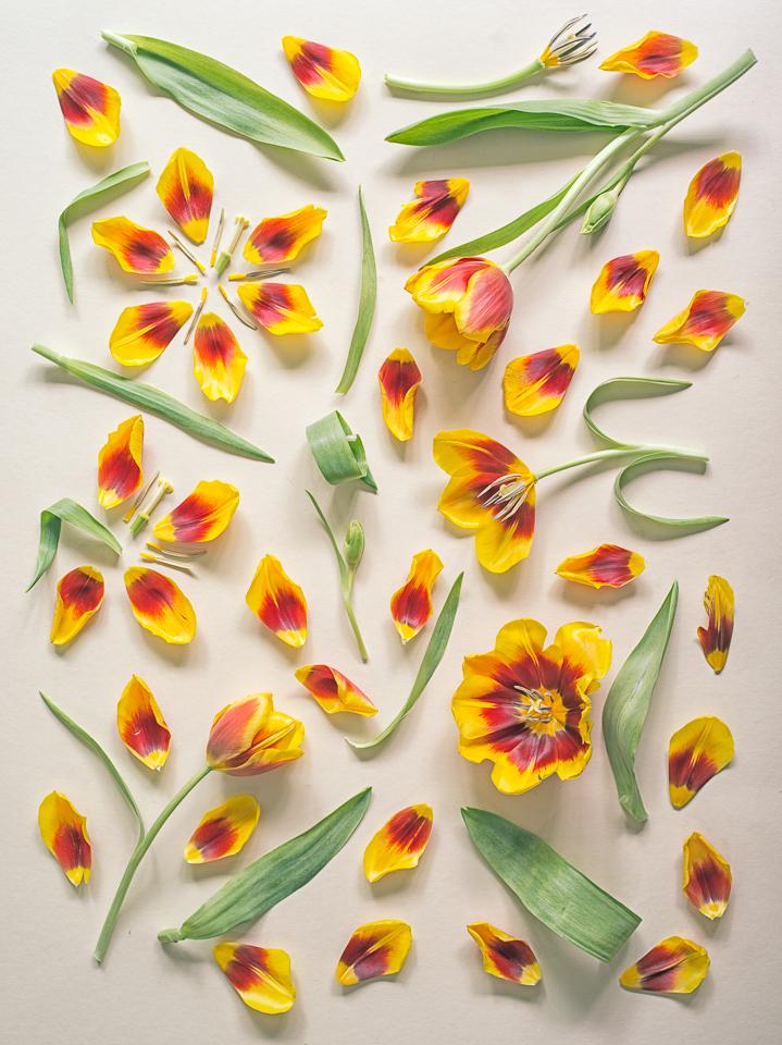 Tulips, 2013
