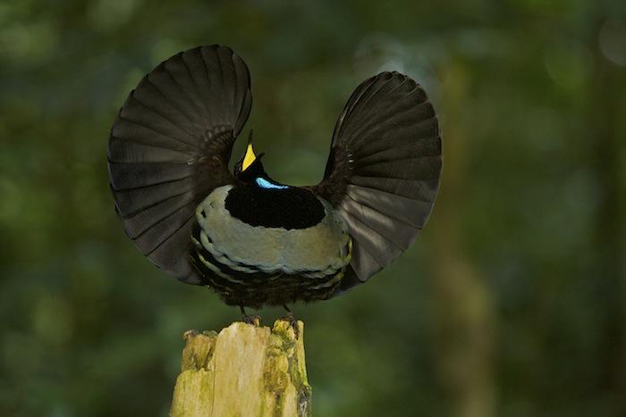 Tim-Laman, Look3, Birds-of-paradise
