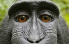 Everything I Need To Know About Copyright I Learned From A Fucking Monkey Selfie