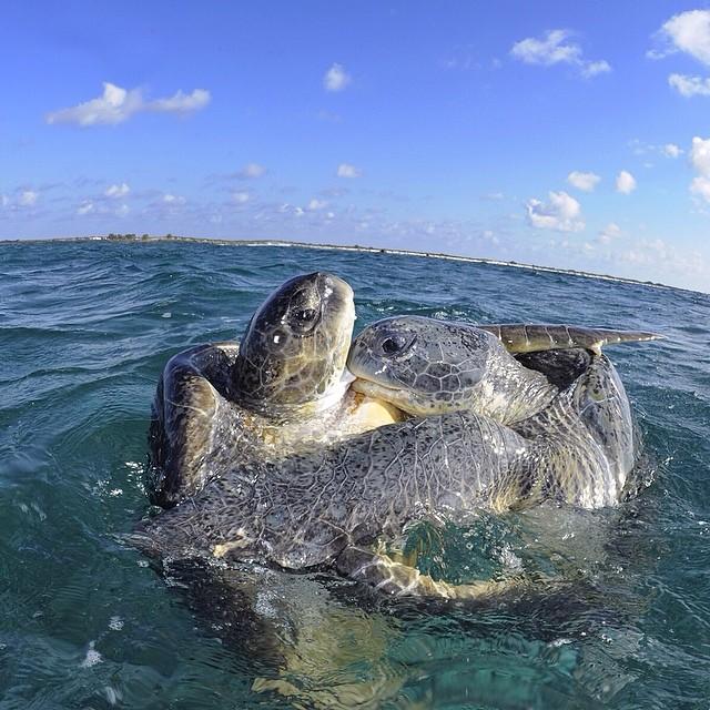 Sea Turtle courtship © Thomas Peschak