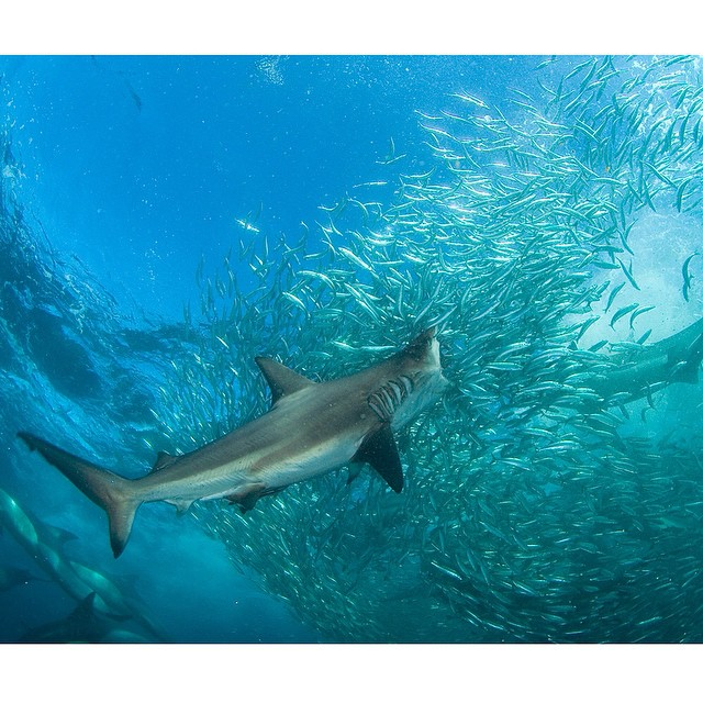 Bronze Whaler Shark © Thomas Peschak