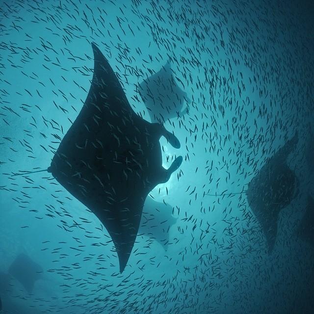 Manta Rays feeding on Bait Fish © Thomas Peschak