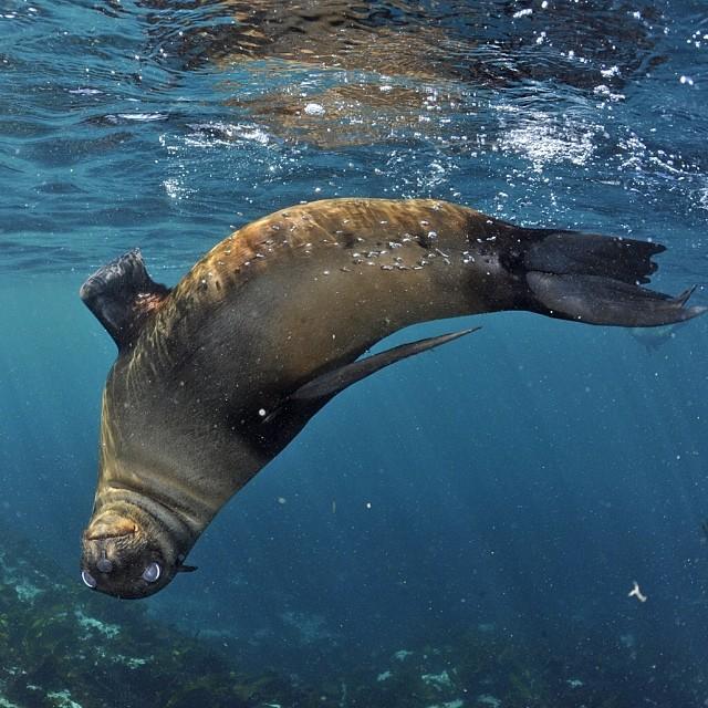 Young Cape Fur Seal © Thomas Peschak