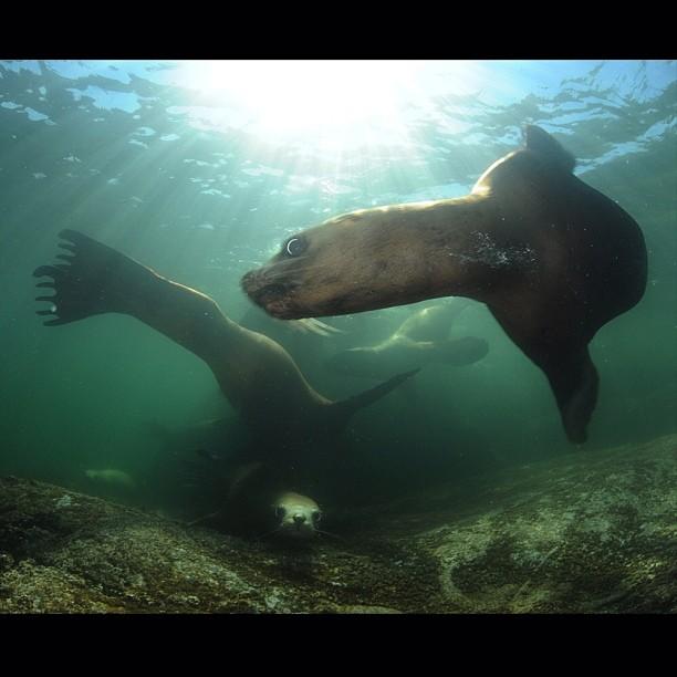 Stellar Sea Lions © Thomas Peschak
