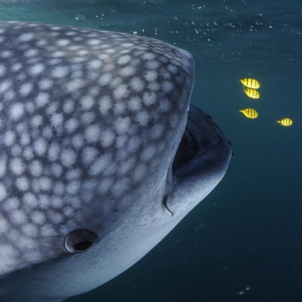 Whale Shark and Juvenile Kingfish © Thomas Peschak
