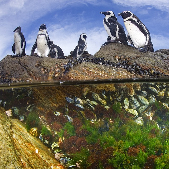 African Penguins © Thomas Peschak