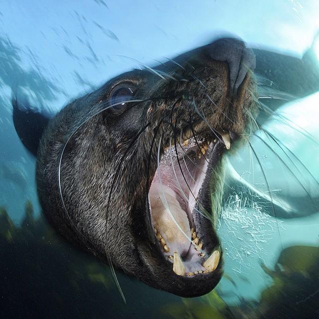 Cape Fur Seal Bull © Thomas Peschak