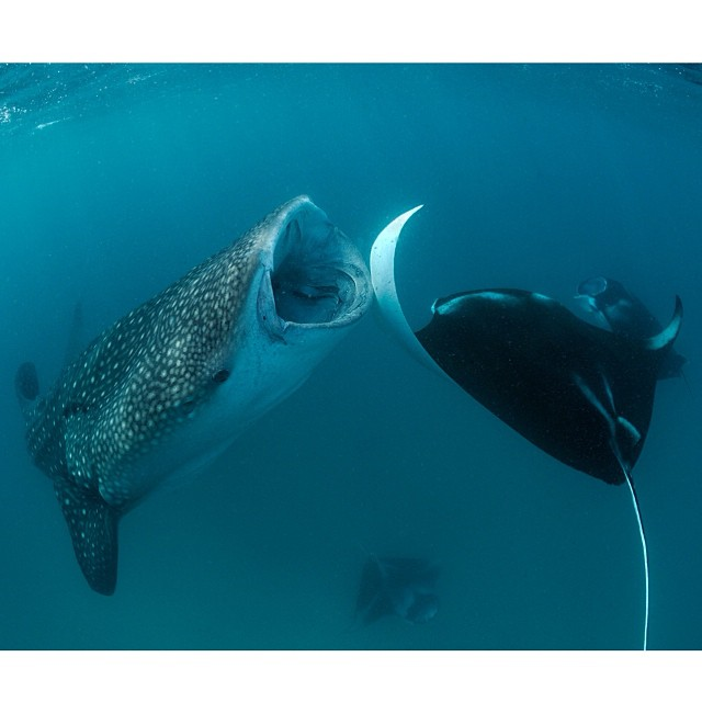 Colliding Whale Shark and Reef Manta © Thomas Peschak