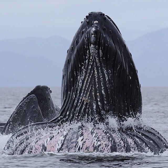 Humpback Whales © Thomas Peschak