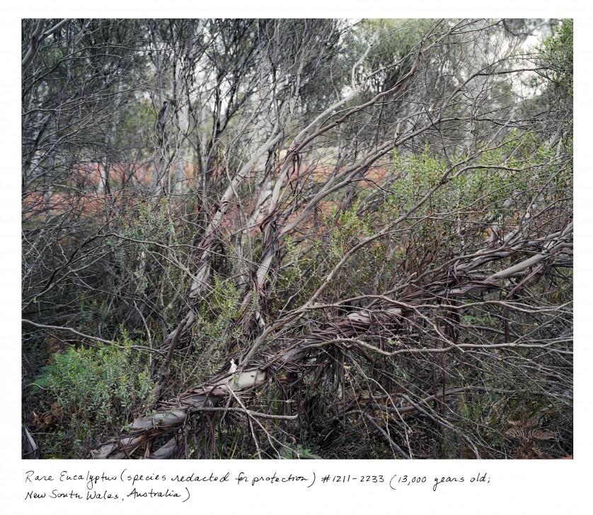 10_Sussman_Eucalyptus_NSW_1211_2233