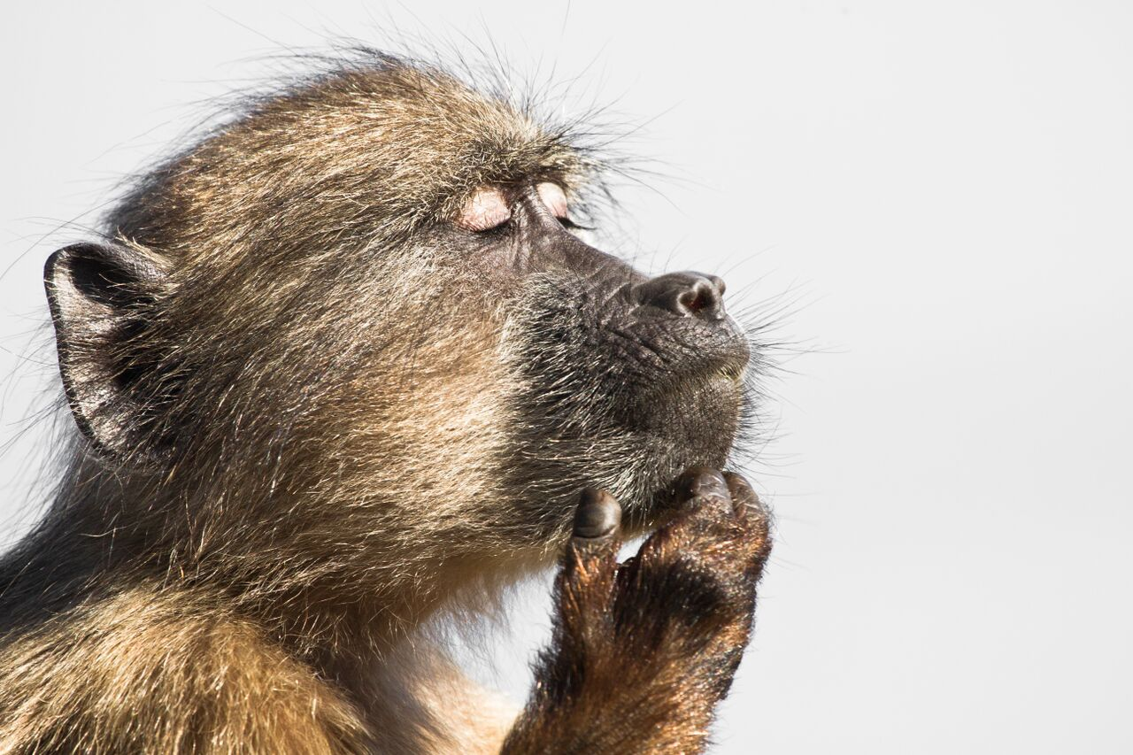 a-baboon-gets-lost-in-his-thoughts_22548258777_o