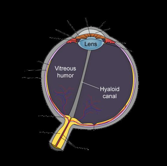 Schematic_diagram_of_the_human_eye_en-edit
