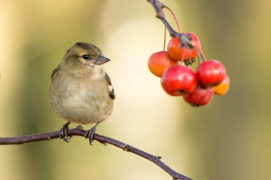 bird, berry, branch, close up