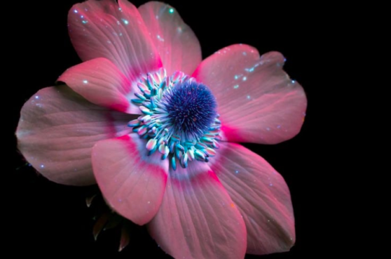 ultraviolet, light, flower