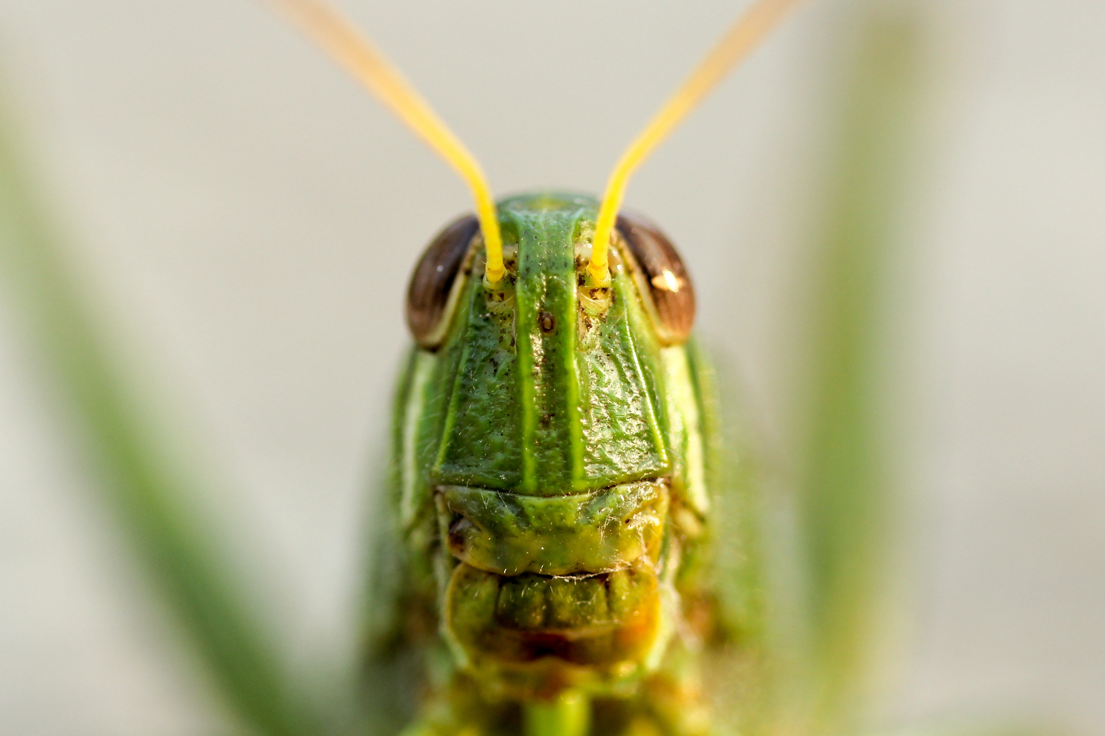 grasshopper, insect, bugged