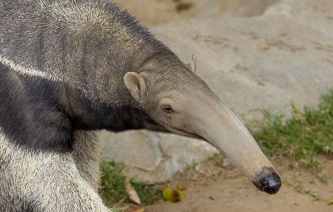 Anteater in award-winning wildlife photo is actually stuffed, say judges